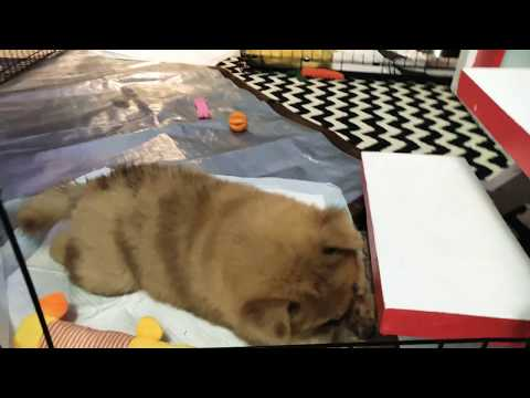 Chow chow puppy teething