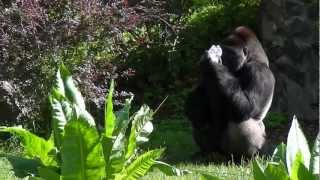 Lowland gorilla. Feeding Show, Opole Zoo, Poland. / Karmienie goryla nizinnego w opolskim zoo.