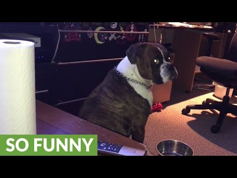 Boxer Throws Tantrum When Water Bowl Is Empty