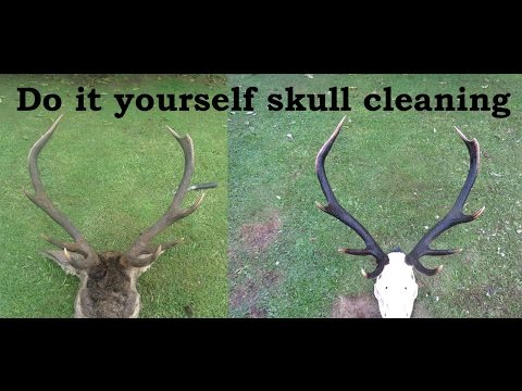 How To -  Cleaning up skulls for a euro mount