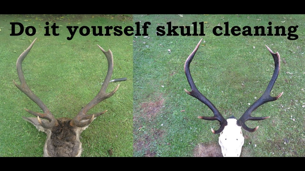 how to cleaning up skulls for a euro mount youtube