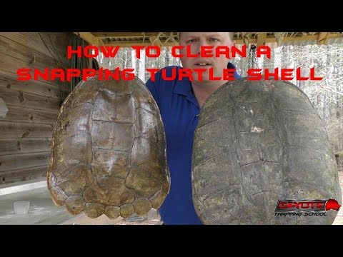 How to clean a snapping turtle shell