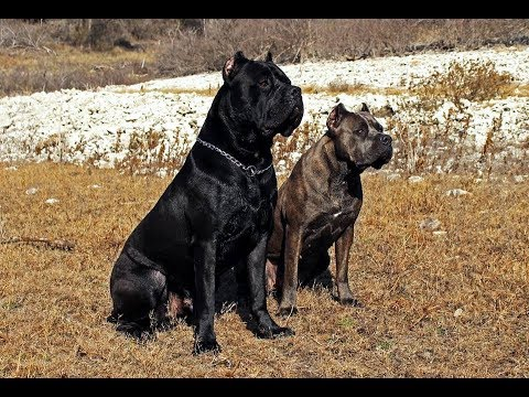 Cane Corso Home Invasion Role Play