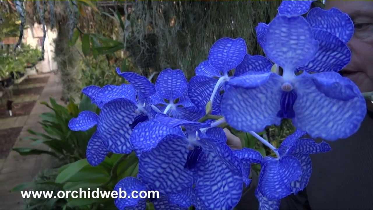 Supra For Sale >> OrchidWeb - Vanda coerulea supra (Lord Rothschild's Variety) - YouTube