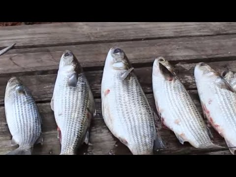 Mullet Catch And Cook