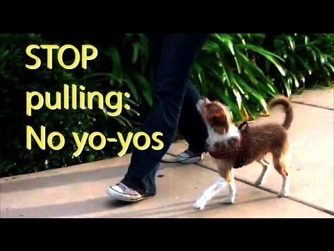 Stop pulling and Yo-yoing- clicker dog training