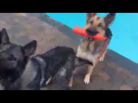 Real Life | Dogs swimming in a pool | #swimming with #dogs at home #gsd 😀😀👊❤️😀💦 |