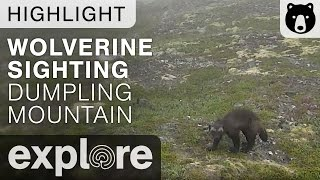 Wolverine at Dumping Mountain - Live Cam Highlight thumbnail