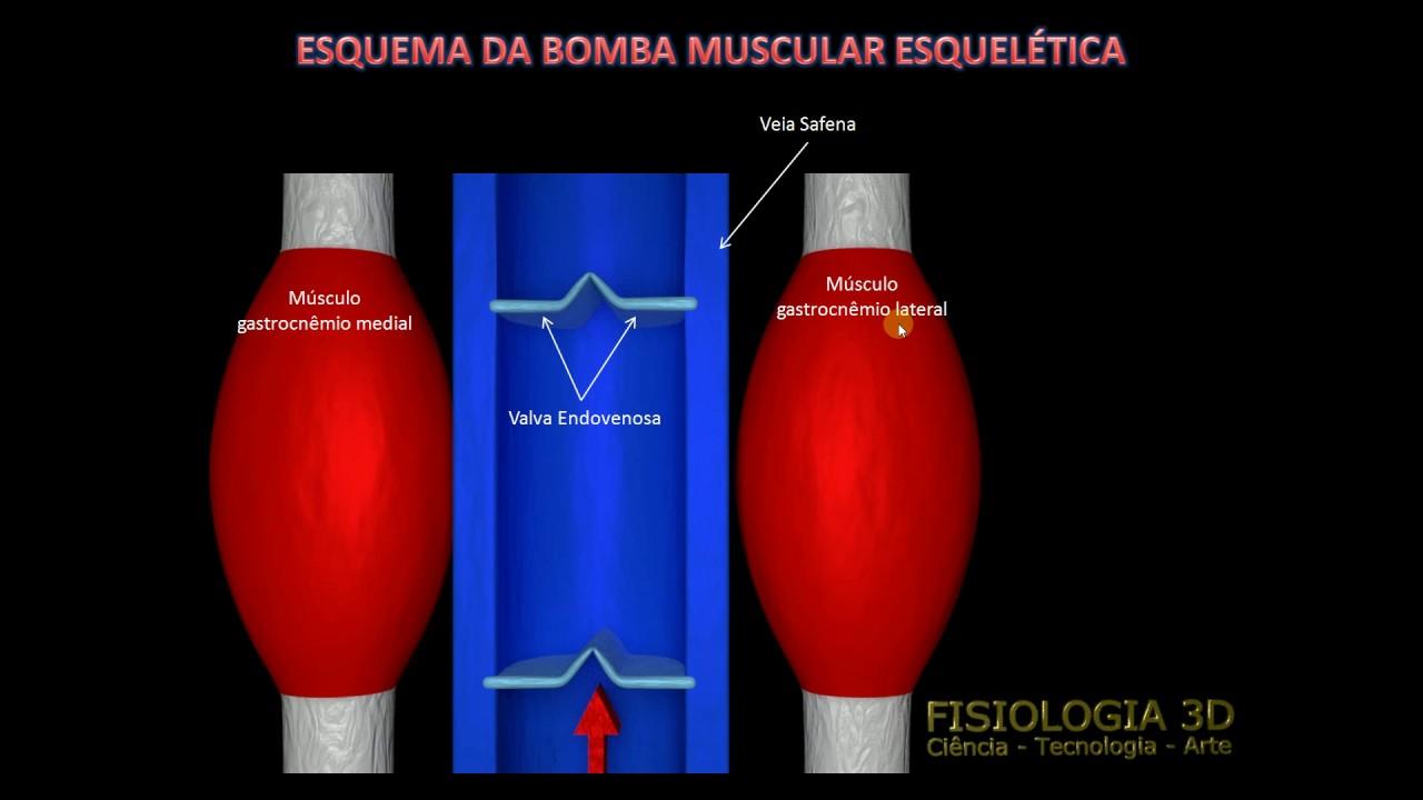 venas bomba muscular