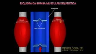 Salientes no músculo da panturrilha veias