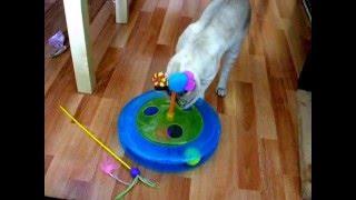 Кот тайской породы играет в кошачью рулетку! Это надо видеть! Тайские кошки - это чудо! Funny Cats
