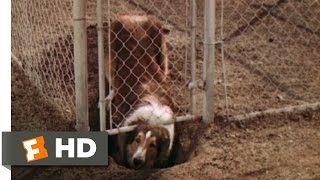 Lassie Come Home (2/10) Movie CLIP - The First Escape (1943) HD