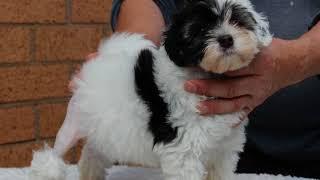 löwchen puppies