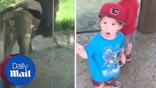 King of the jungle: Lion marks his territory in front of shocked boy