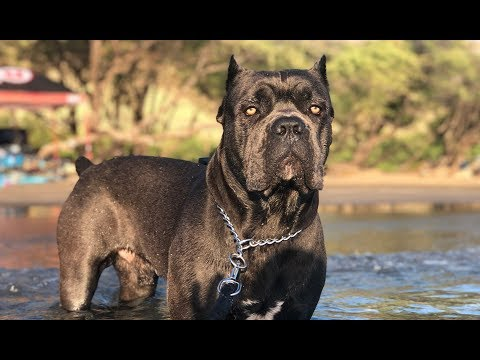 Top 7 Reasons CANE CORSO is a Superior Dog Breed