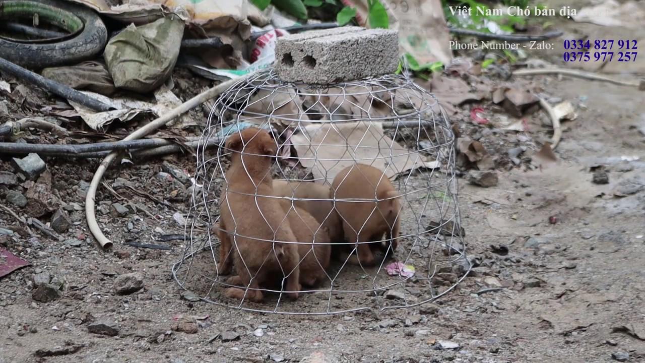 Đàn Chó H'Mông Cộc Đuôi bản Mông (Tỷ lệ cộc 100%)/Việt Nam Chó bản địa