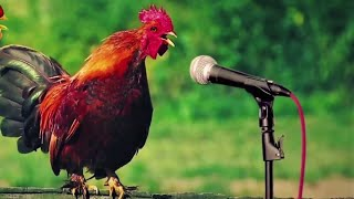 Chicken Song and Dancing Rooster - Funny Chicken Dance