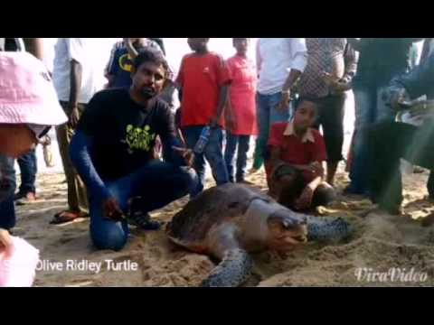 Save Olive Ridley Turtle