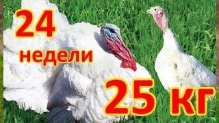 ТЕХНОЛОГИЯ ВЫРАЩИВАНИЯ ИНДЮКОВ ТЯЖЕЛОГО КРОССА БИГ - 6 (Big - 6)