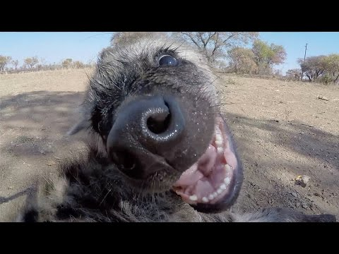 Cute Baby Hyena | The Lion Whisperer