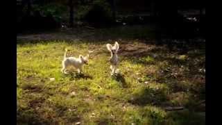 Китайская хохлатая собака. Питомник Голден из Лайф