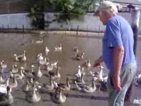 En un criadero de patos en florencio varela youtube for Criadero de cachamas en tanques