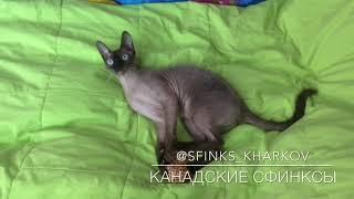 Кошки Харьков, Канадский сфинкс, Купить сфинкса Харьков