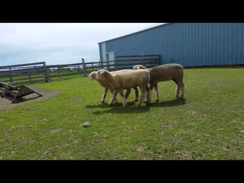 May 30, 2015 - columbia fall ewe lambs