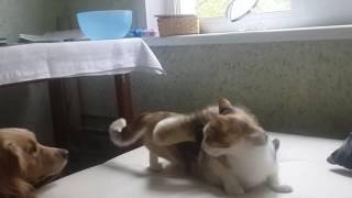 Течная кошка и харек