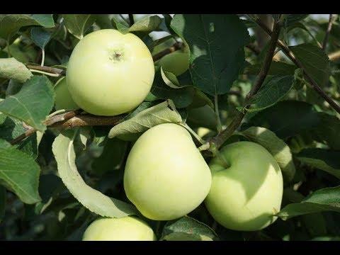 Вопрос: Что за сорт яблок (см.)?