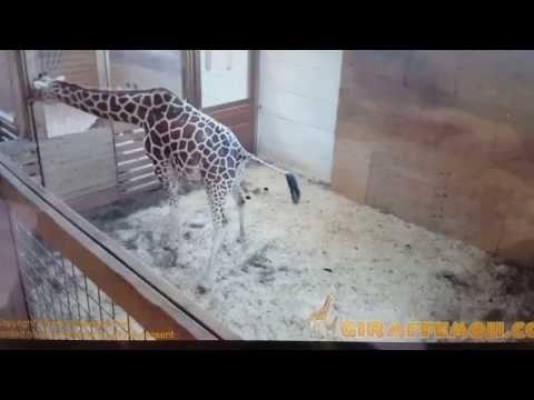 April The Giraffe's Latest Vet Visit 4/1/17 - Animal Adventure Park Giraffe Cam