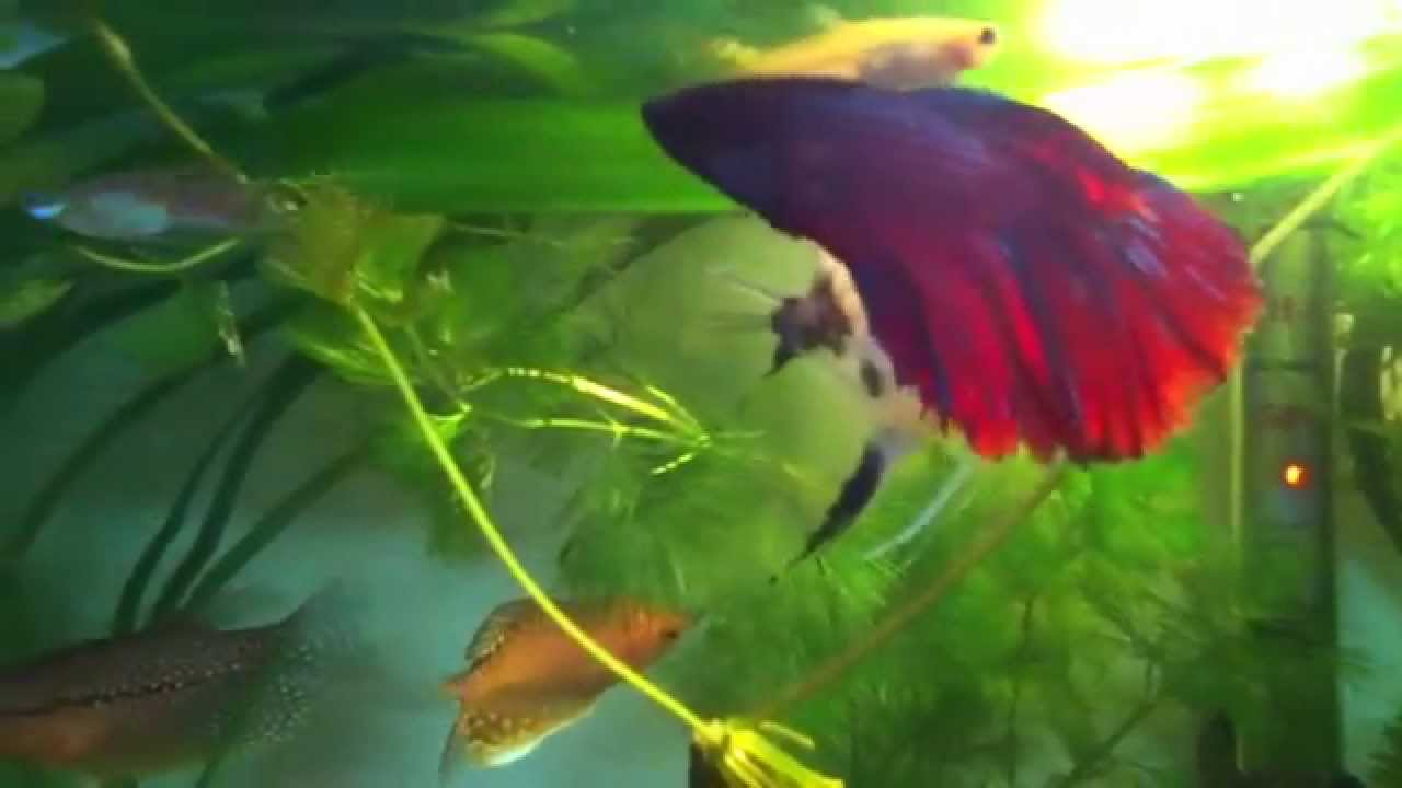 Peces tropicales 60 litros youtube for Peces tropicales