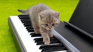 Gatito Pianista