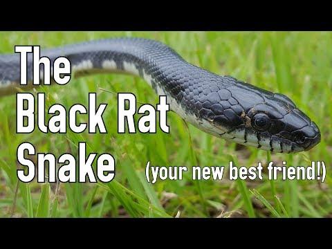 The Black Rat Snake: Man's Best Friend