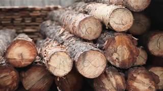 Как «черные лесорубы» таежный лес Бурятии в Китай продают - смотрите специальный репортаж на ОТР