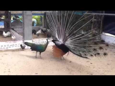 Chim công Việt