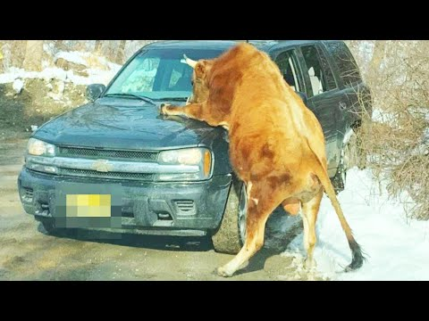 Police Kill Escaped Bull That Was Attacking Its Owner