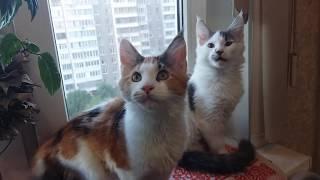 Мои котята Мейн кун Хрусталь и Храброе Солнце