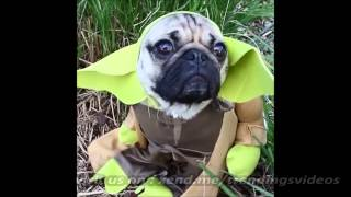 Star Wars Yoda Transformed Into Dog The Pug So Cute!