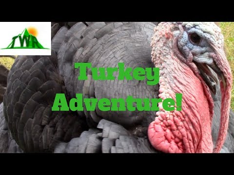 Learn About The American Turkey!