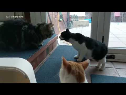 Introducing Cats To A New Persian Kitten For The First Time | 4K Ultra Hd
