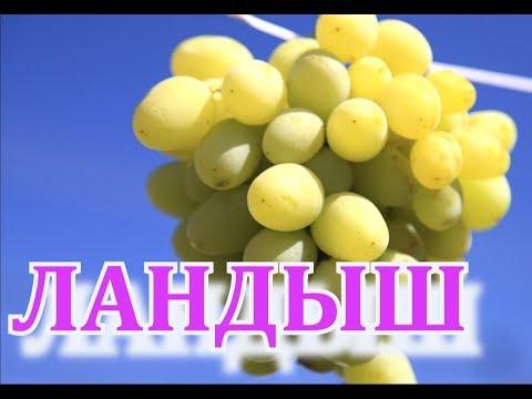 Виноград Ландыш ( Grapes Landysh)