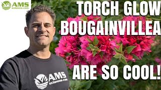 The Torch Glow Bougainvilla is a Great Shrub Option