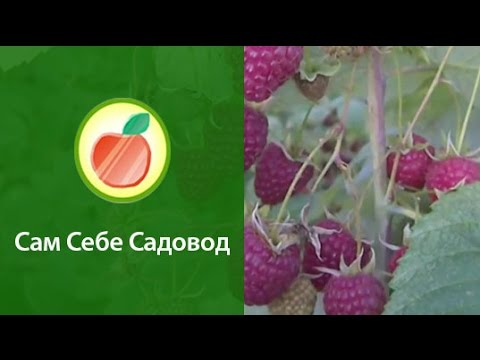 Малина,лучшие сорта(обычные,ремонтантные.)! - YouTube