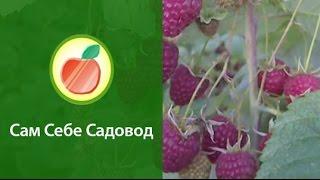 Ремонтантная малина Поляна (часть 1)(http://samsebesadovod.ru Вот такой урожай малины ремонтантной сорта Полана (Поляна) созрел у Романа Врублевского осень..., 2010-09-28T17:17:55.000Z)