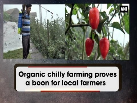 Organic chilly farming proves a boon for local farmers - ANI News