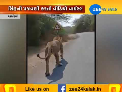 Amreli : Car driver harass to lion, Video Viral on Social Media|Zee24Kalak