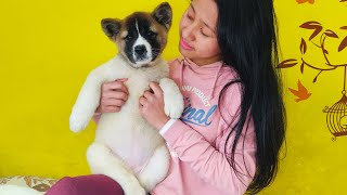 Meet American Akita Puppy