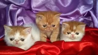 Котики экзотические