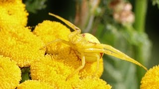 On the Hunt: Flower Crab Spider